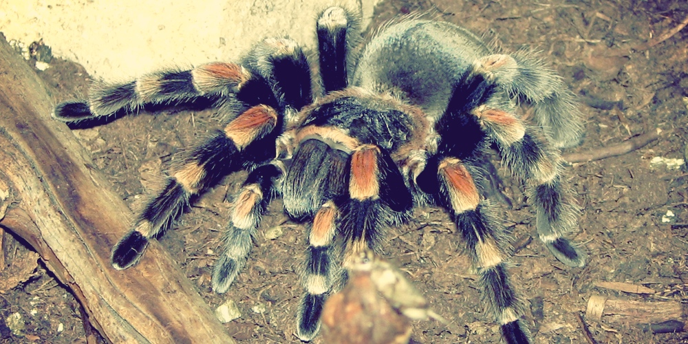 Tarantula - Shelob